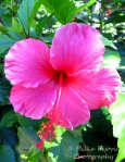 A Word A Week Challenge - Pink hibiscus flower
