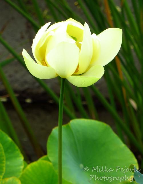 Floral Friday Fotos: lotus flower