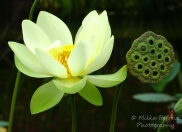 Floral Friday Fotos: lotus flower and lotus seed head