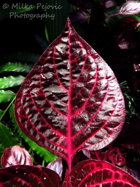 Bloodleaf plant - Iresine herbstii