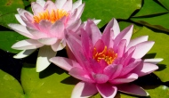Floral Friday Fotos: more pink water lilies