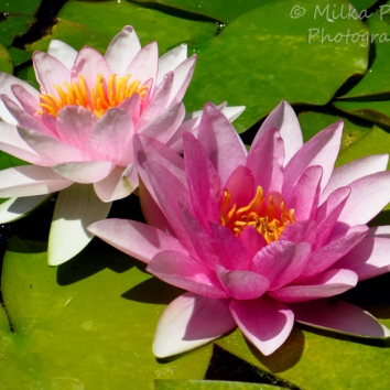 Floral Friday Fotos: pink water lilies