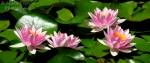 Group of pink water lilies