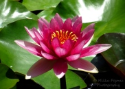 Floral Friday Fotos: pink water lily