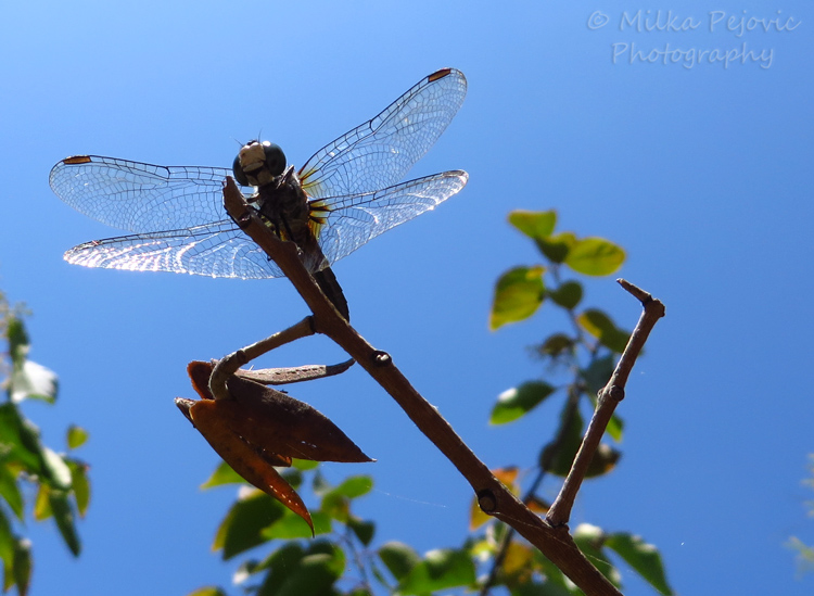 Macro Monday: blue dragonfly wings