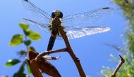 Macro Monday: under a bluedragonfly