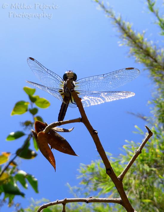 Macro Monday: underneath a blue dragonfly