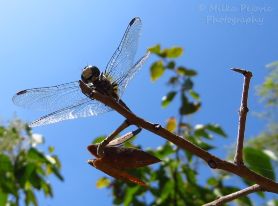 Macro Monday: blue dragonfly on tree branch