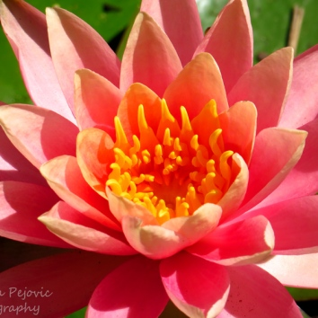 Macro Monday: pink water lily with bright yellow center
