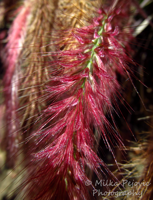 Hairy pink grass seeds