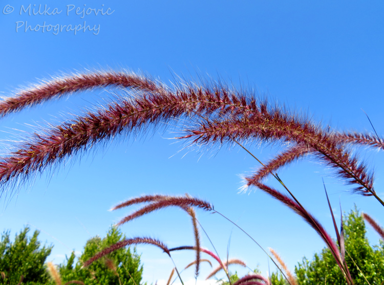 Wordpress weekly photo challenge: horizon with pink grasses in the foreground