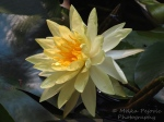 Close-up of a yellow water lily