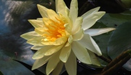 Floral Friday Fotos: yellow waterlilies