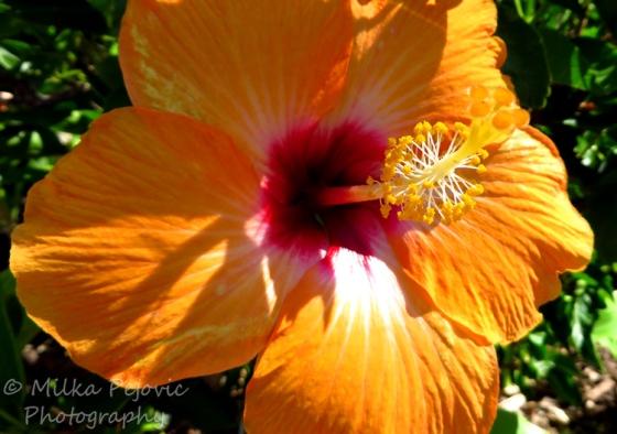 Macro of an orange hibiscus flower