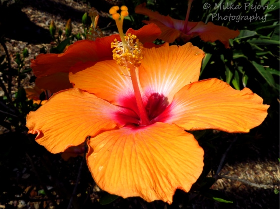 Floral Friday Fotos: orange hibiscus flower