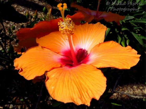 Floral Friday Fotos: orange hibiscus flower