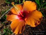 Floral Friday Fotos: close-up of an orange hibiscus flower