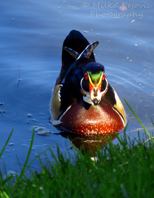 Front of wood duck with colorful markings