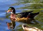 Wood duck in water