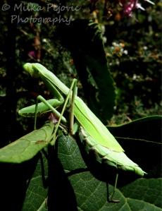 Macro Monday: green praying mantis