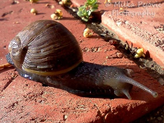 Cee's fun foto challenge: brown snail