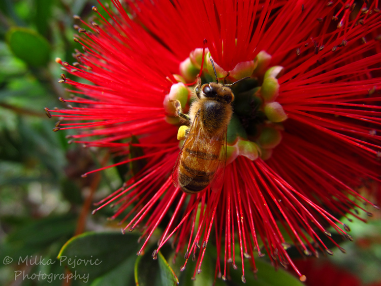 Red bottle brush flower with bee