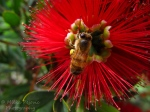 Capture The Colour 2013 photo contest - red bottle brush flower with bee