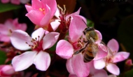 Macro Monday: bees on pink flowers