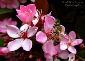 Macro Monday: bee on pink flower