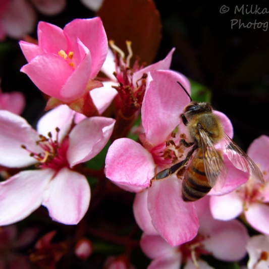 Macro Monday: bee on pink flower