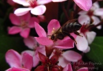 Bee collecting nectar on pink flower