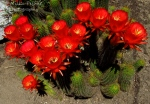 Floral Friday Fotos: cactus with red flowers (Chamaecereus sylvestris)