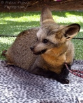 Wordless Wednesday: bat-eared fox