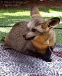 Wordless Wednesday: bat-eared fox