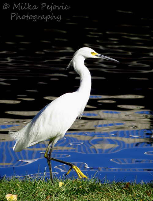 A Word A Week Challenge: Pose - white great egret