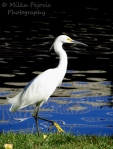 White great egret with interesting water reflections