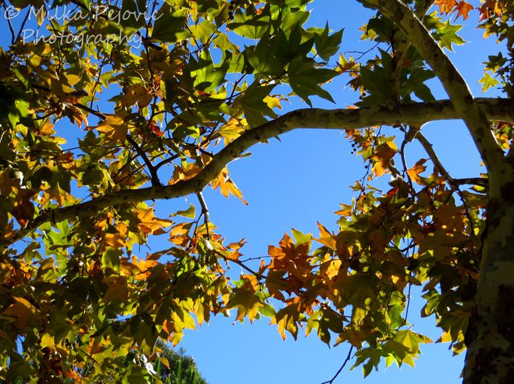 Festival of leaves - week 2 - Sycamore tree
