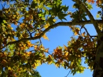 Festival of leaves - week 2 - Sycamore tree