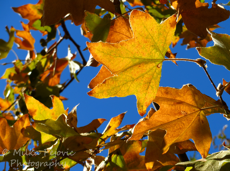 Sycamore tree leaves in the fall in San Diego