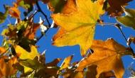 Festival of leaves – week 2 – Sycamore treeleaves