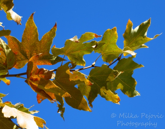 Festival of leaves - week 2 - Sycamore tree leaves
