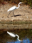 Ese's Weekly Shoot & Quote Challenge – Vibrations - great egret reflecting in the water