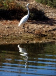 White great egret with his reflection in the water