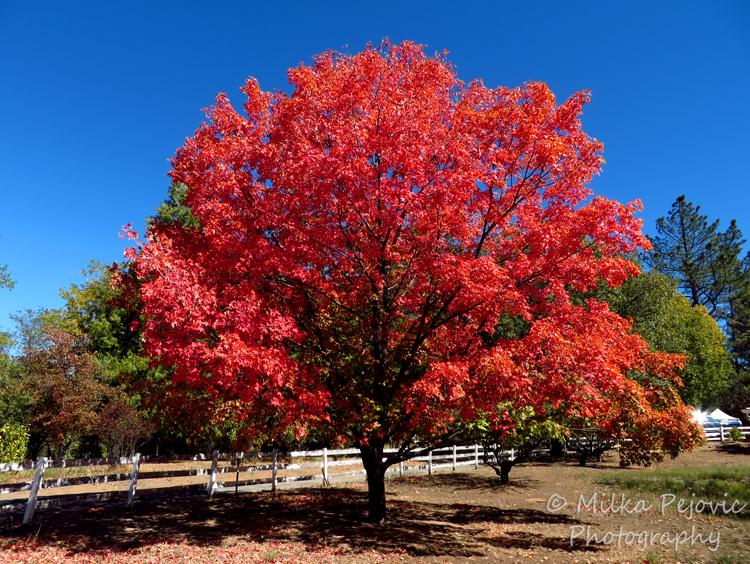 Festival Of Leaves Week 4 Rare Maple Tree Sighting In