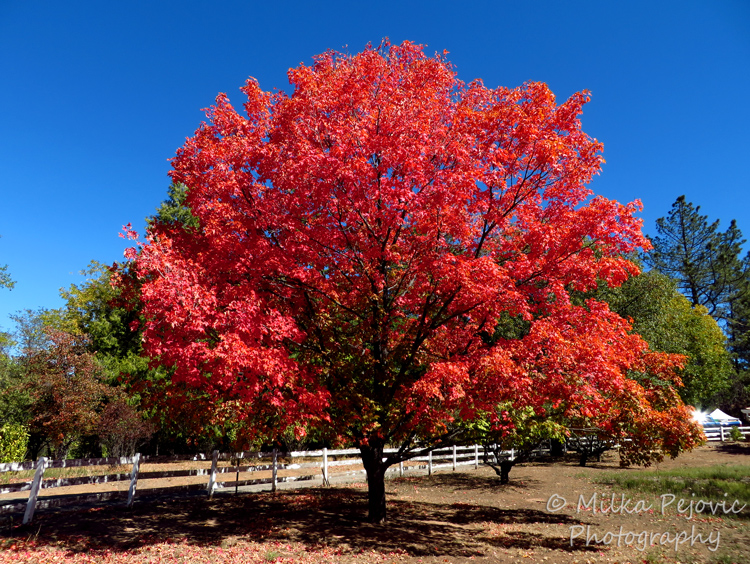 Festival of leaves - week 4 - maple tree fall foliage
