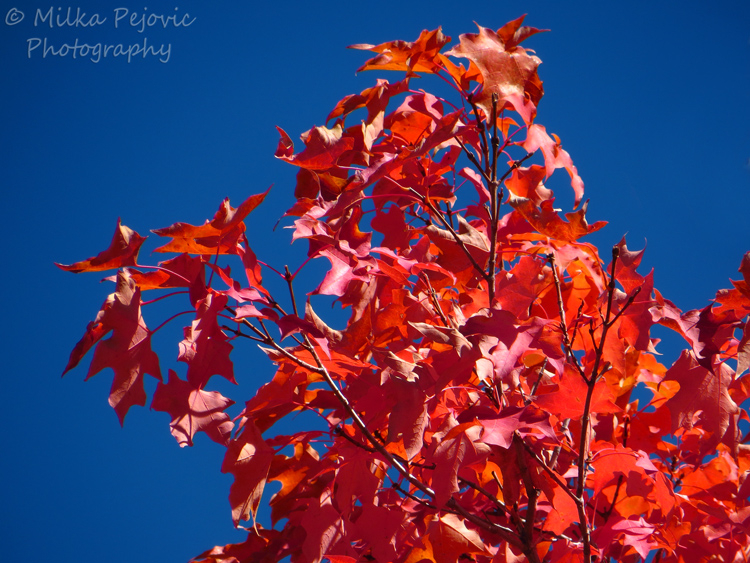 Red maple leaves on maple tree