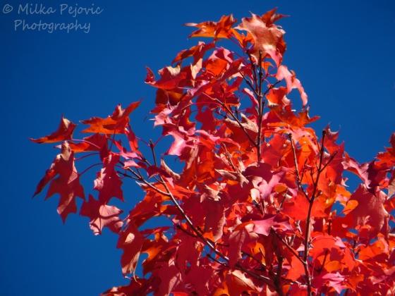 Red maple leaves on maple tree