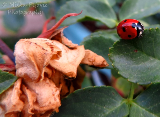 Red ladybug on a rose bush