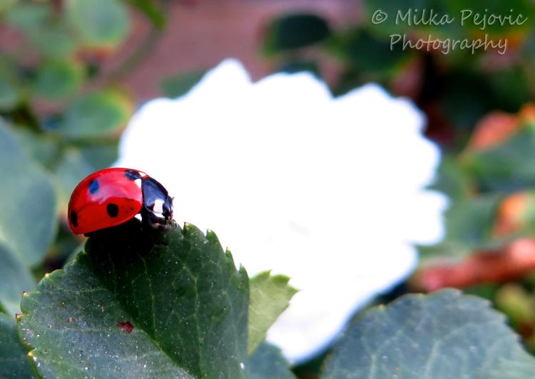 Macro Monday: a red ladybug