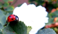 Macro Monday: a red ladybug, an unexpectedguest